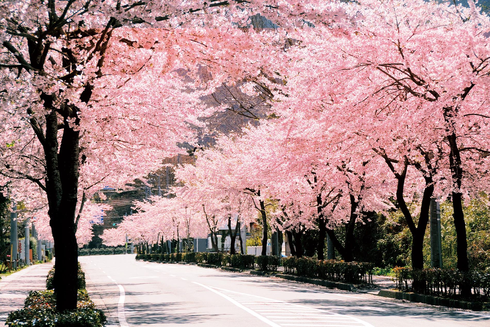 富士山と桜のコラボが望める、御殿場お花見スポット